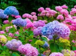 The Sweet Romance of Hydrangeas