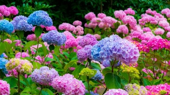 The Sweet Romance of Hydrangeas