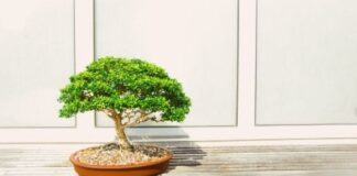 Top 5 Bonsai Plants For Your Home Office